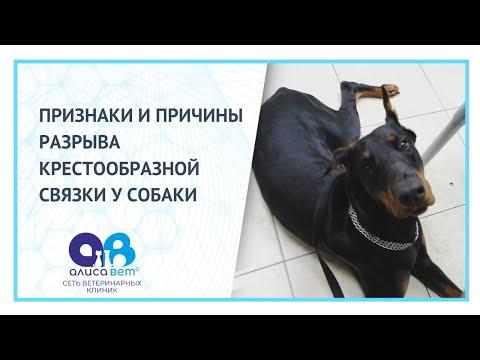 Собака хромает на заднюю лапу без видимых повреждений