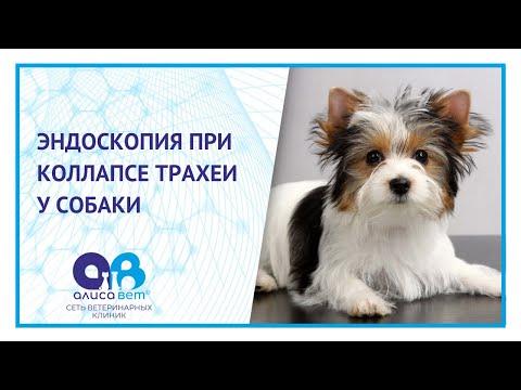Эндоскопия собаке при коллапсе трахеи