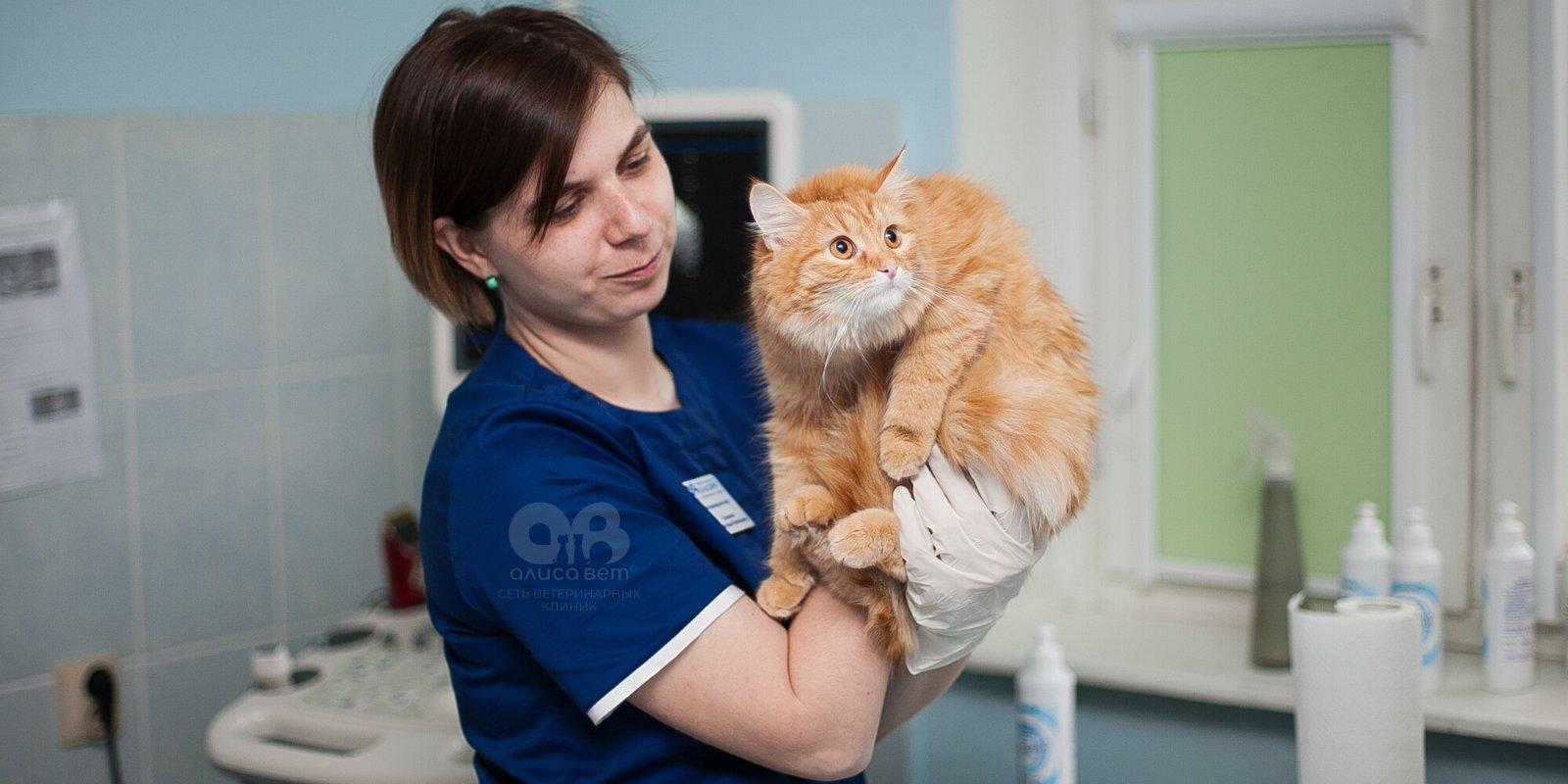 Подготовка к стерилизации кошек