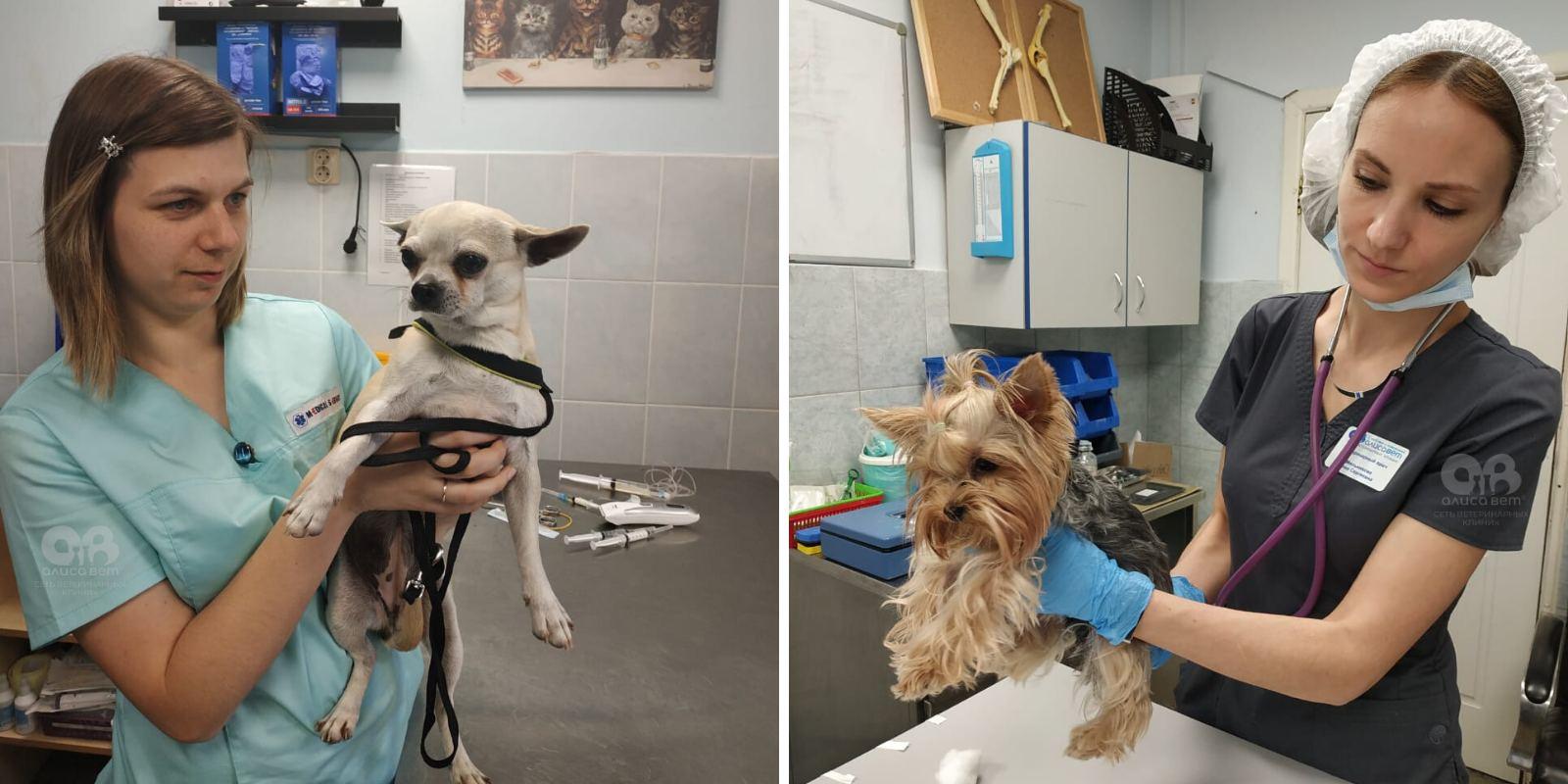 Подготовка собаки к операции стерилизации