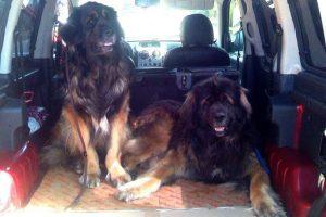 Зоотакси для крупных собак
