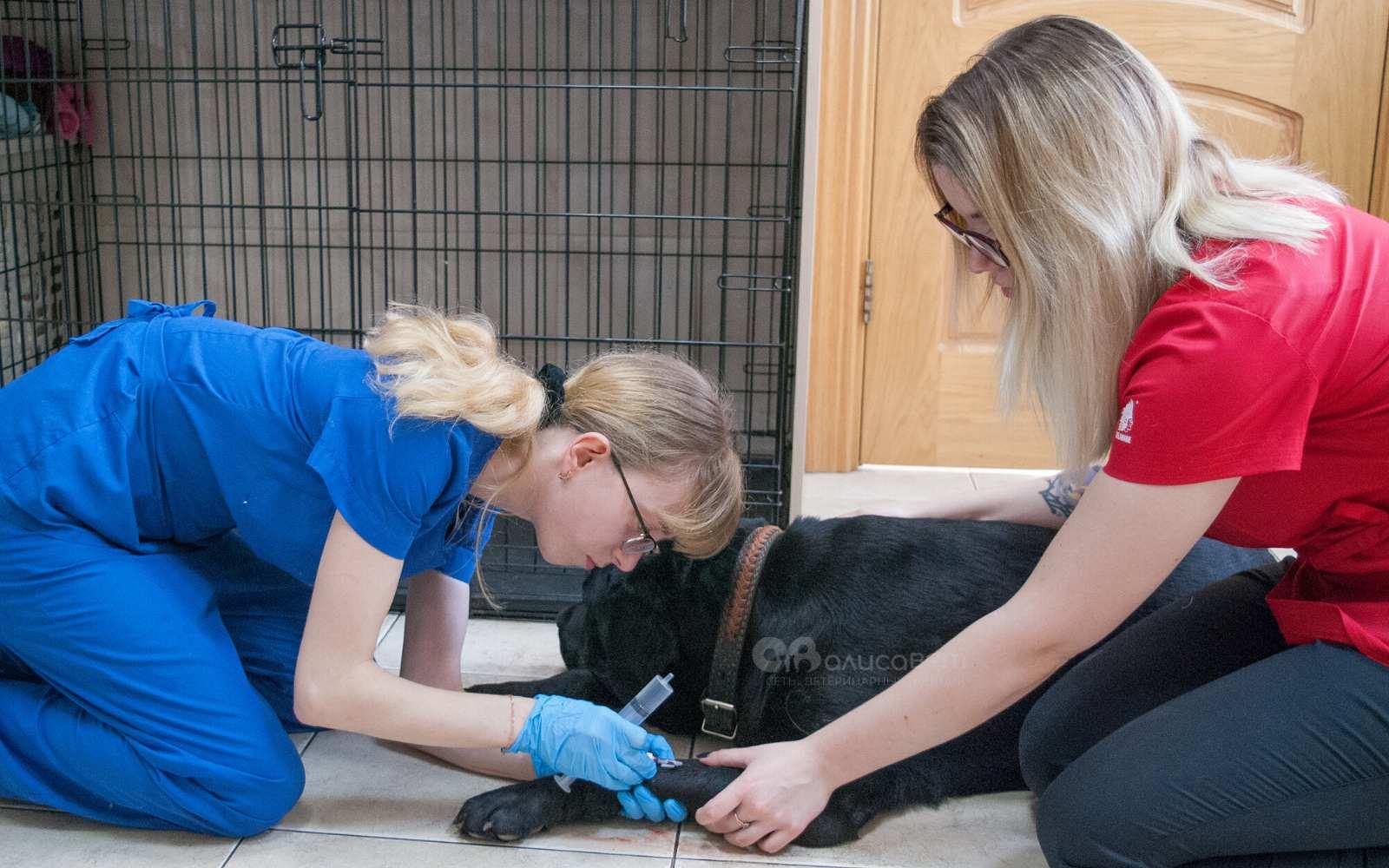 Как лечат пироплазмоз у собаки