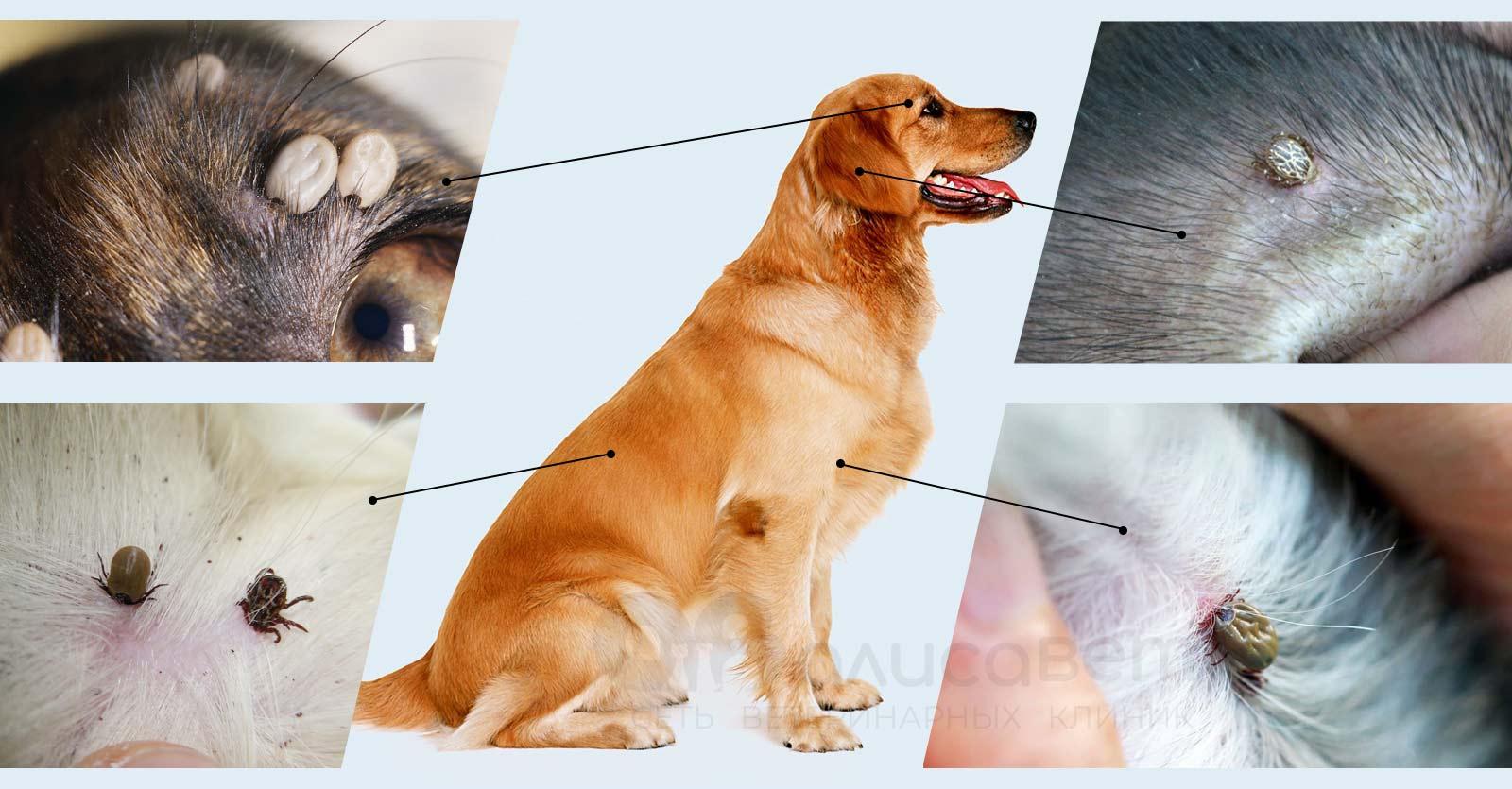 Пироплазмоз у собаки