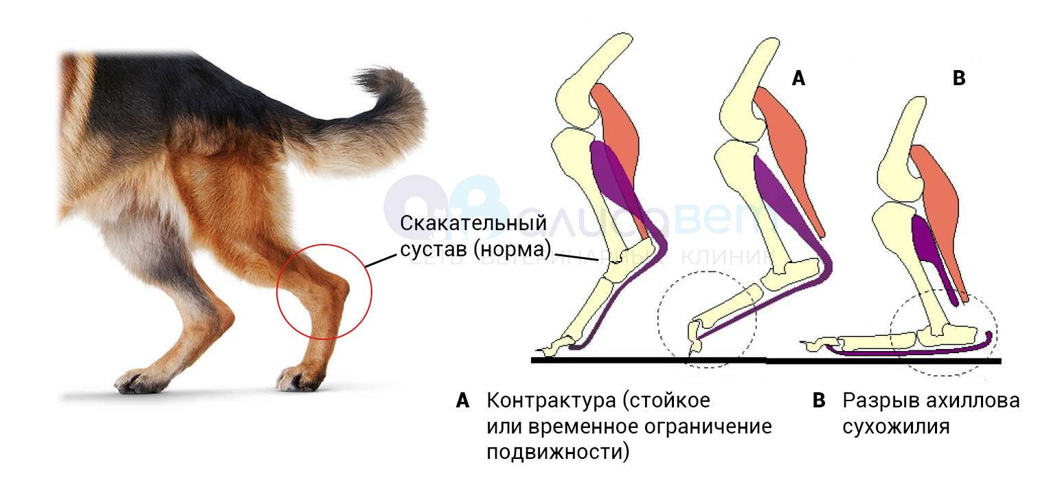 разрыв ахиллова сухожилия у собаки