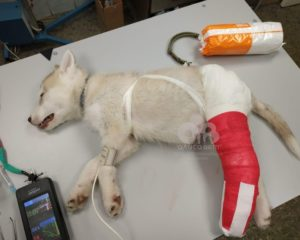 перелом голени у собаки