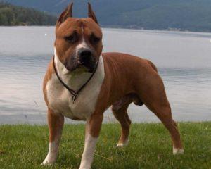 разрыв крестообразная связка у собаки