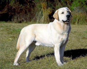 разрыв крестообразной связки у собак