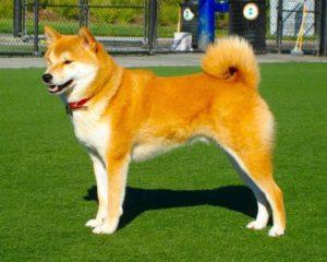 разрыв передней крестообразной связки у собаки