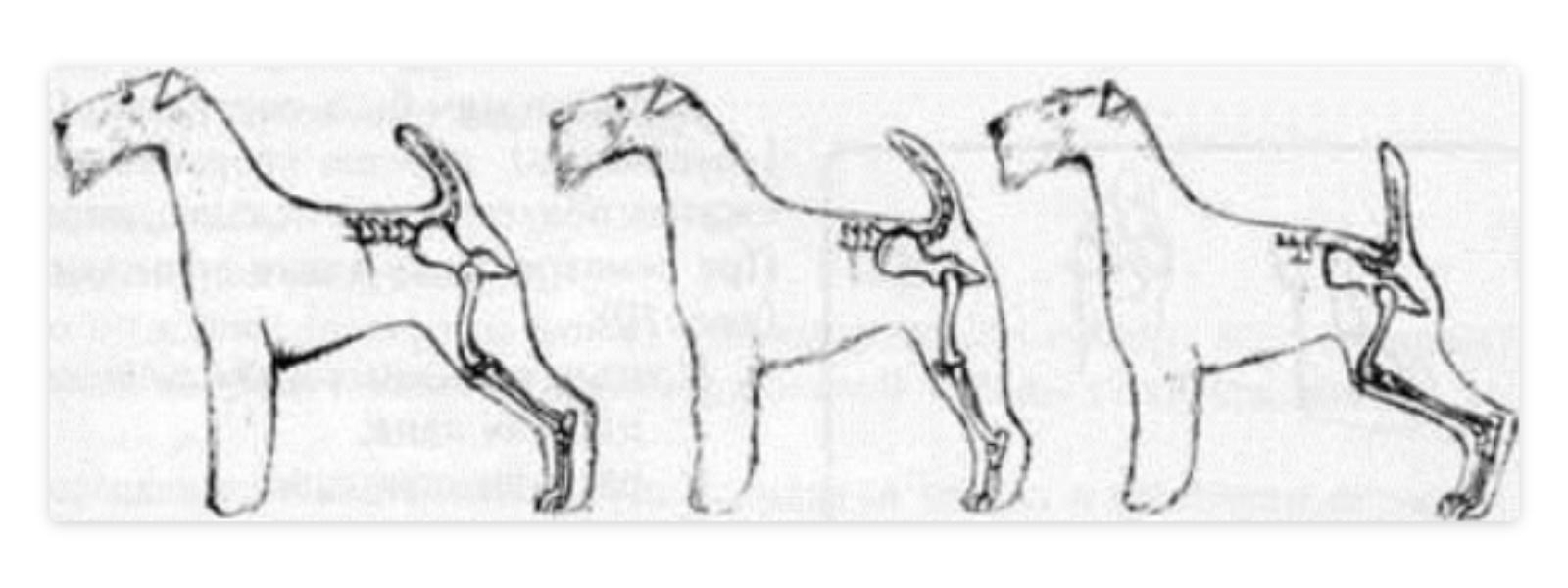 разрыв крестовидной связки у собак диагностика