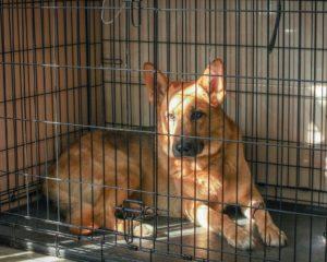 разрыв крестообразной связки у собаки лечение без операции
